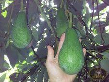 AVOCADO MESSINESI NATURALI PURISSIMI